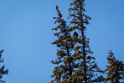 Bald Eagle near Maligne Lake, Jasper National Park, Alberta